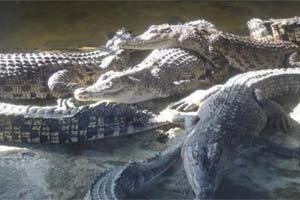 Teritip Crocodile Breeding Cen